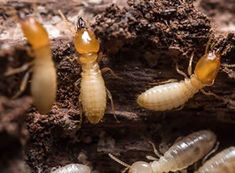 Petes Pest Control Toowoomba - White Ant Infestation